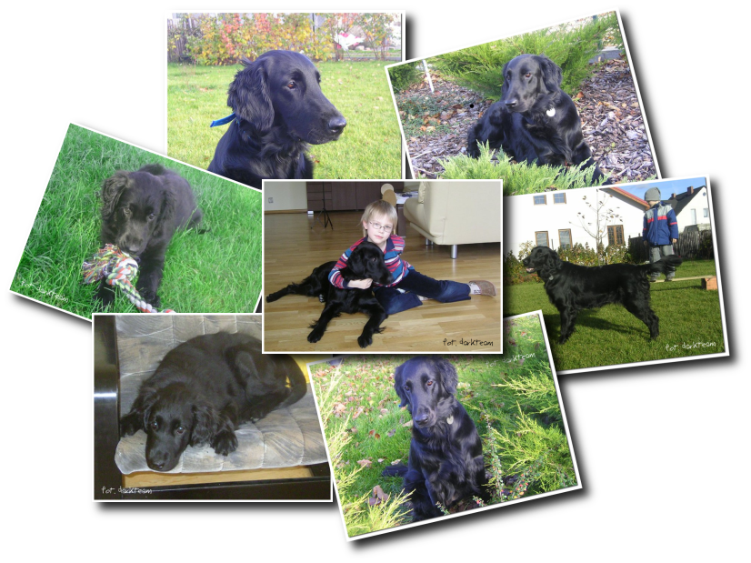 hodowla flat coated retriever